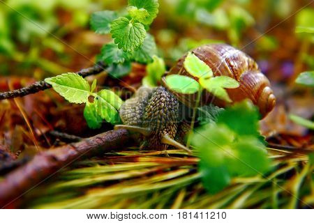 Closeup grape snail (lat. Helix pomatia) with the green background. In Spain, France and Italy, a grape snail is eaten. Low DOF photography.