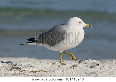 A Ring-Billed Gull, Larus delawarensis walking on a beach in Florida