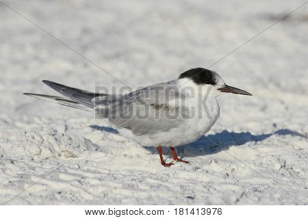 Common Tern, sterna hirundo on a white sand beach in Florida