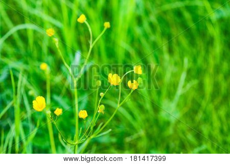 The flower of the Buttercup acrid,long-term with the name of