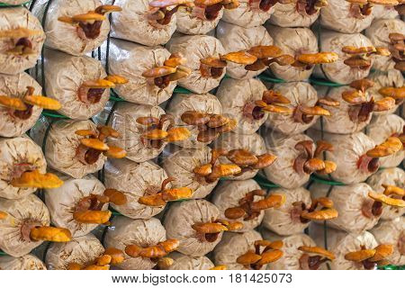 Lingzhi Mushroom Farm, Agriculture Farming In Upcountry.