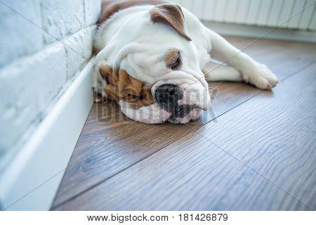 English bull dog puppy alone at home