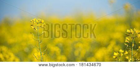 Rapeseed Field, Blooming Canola Flowers