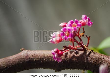 Blooming star fruit flowers on tree branch with clear background