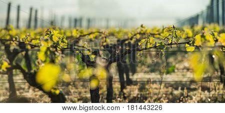 First Spring Leaves On A Trellised Vine Growing In Vineyard