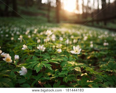 Spring awakening of flowers and vegetation in forest on the background of setting sun