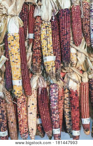 Colorful indian corn on autumn market place