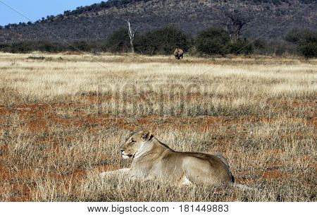 Picture of a lion lying in grass and rhino in background, Madikwe game reserve, South Africa.