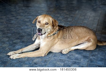 Brown Thai mixed breed dog on blue floor looking at camera