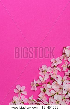 Cherry, Apricot Flowers As Natural Floral Background On Pink Color