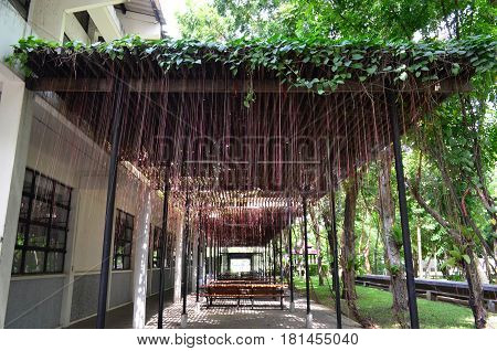 Pink aerial root of climber plant from wooden lath over recreation area in the city