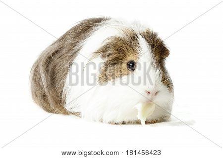 Longhair Guinea pig eating lettuce isolated on white background