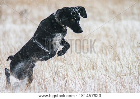 Black dog hunting in the winter in the snow. Walk the labrador. A pet. Dog on nature. Dog in winter