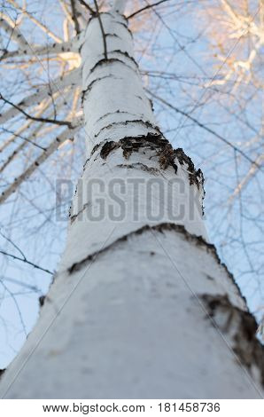 Wood birch bark and birch twig closeup