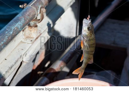 Fish is catching on the hook close up