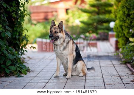 German shepherd dog is sitting near the house