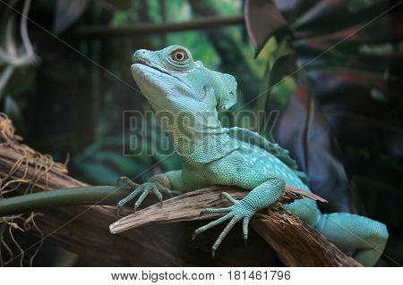 Basiliscus plumifrons in jungle. Wild animal in jungle