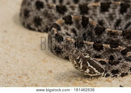 A close up of a Pygmy Rattlesnake