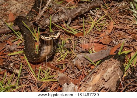 An Eastern Hognose Snake aggressively showing it's hood.