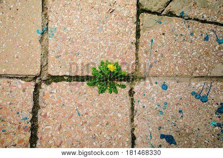 dandelion flower grows between crack the of old granite.