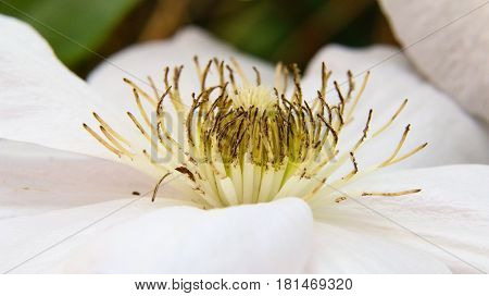 White Clematis, real close up in the summer