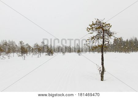 Ugly snow covered pine in winter forest