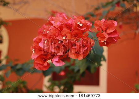 Bougainvillaea flowers. A red  bush bougainvillaea flower
