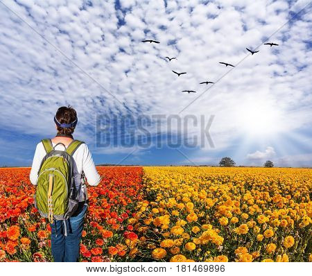 Concept of rural and recreational tourism. The bright southern sun illuminates red garden buttercups. Woman - tourist with backpack admiring the floral field