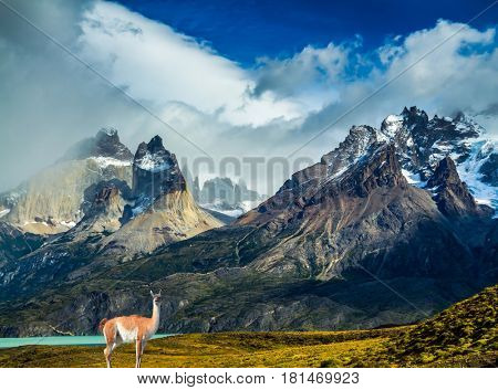 Guanaco at the foot of the cliffs of Los Cuernos. Mountains and rocks in Torres del Paine National Park, Chile. The concept of active and extreme tourism