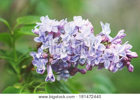 Beautiful and fragrant lavender lilacs in the springtime.