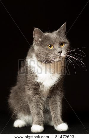 Gray cat with white breast and long mustache portrait on a black background