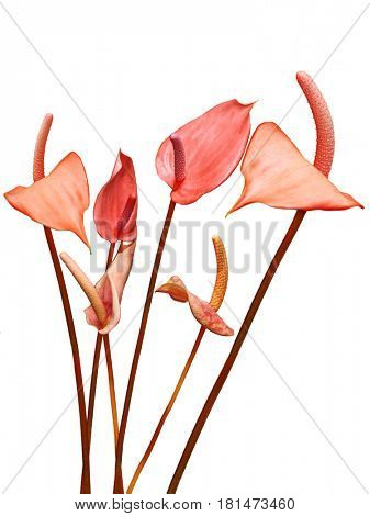 Flamingo Anthurium flowers isolated on white background
