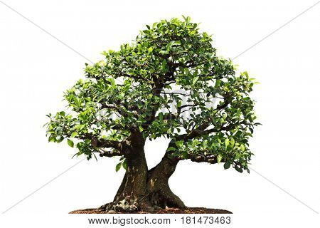 Ficus Microcarpa bonsai tree isolated on white background