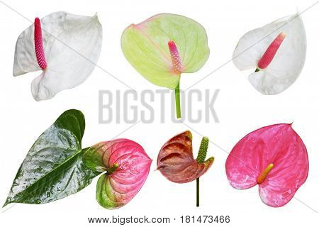 Set of Anthurium ,  Painted Tongue, Flamingo Flower, Flamingo Lily or Tail Flower flowers isolated on white background