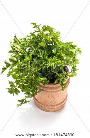 Fresh parsley isolated on white background. Parsley bunch