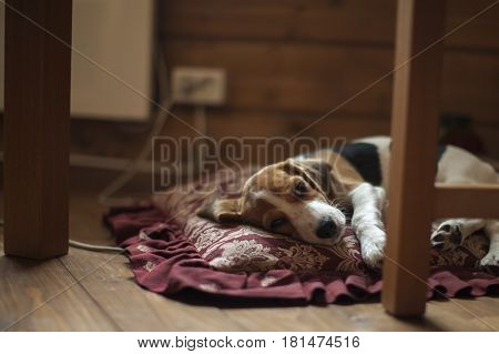 Cute little beagle puppy lies on the pillow.