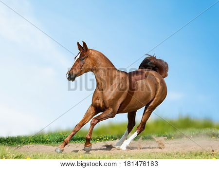 Young saddle horse in summer field training