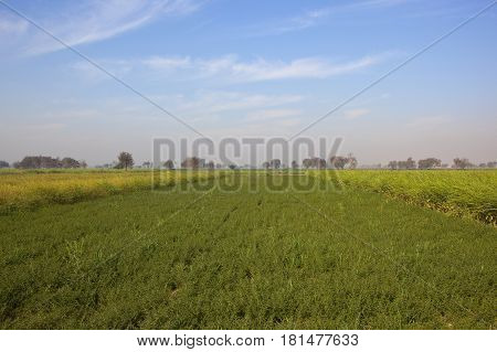 Chick Pea Crop With Mustard
