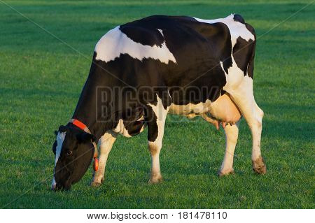 Black and white Holstein Friesian cow grazing