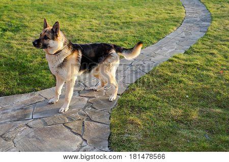 German shepherd dog is standing on the pathway