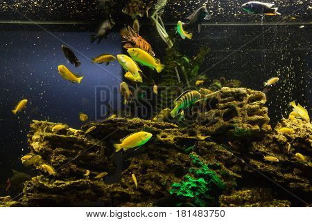Colored fish swimming in an aquarium. Sea creatures. Abstract background of aquarium. Aquarium concept