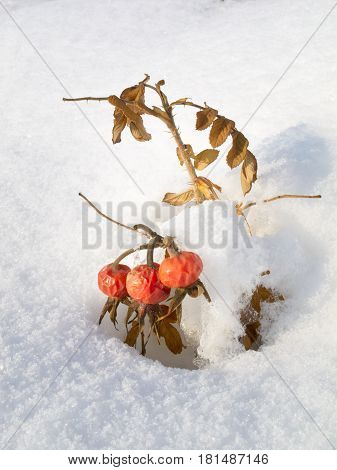 Haws In The Snow