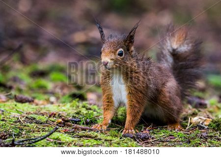 A soggy red squirrel at Formby pine woods near Liverpool.