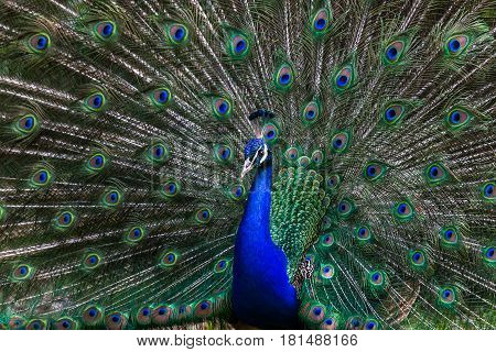 An Indian peafowl spreads its wings at Knowsley safari park.