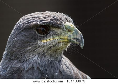 Headshot of a Grey Eagle Buzzard against a dark background.