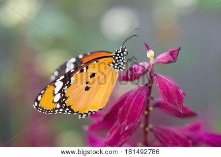 Beautiful monarch butterfly taking its nectar from a delicate flower in summertime