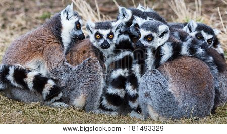 Ring-tailed Lemurs Snoozing In The Sun