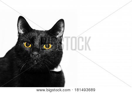 Black cat with yellow eyes looking at you. Elegant cat on an isolated white background.