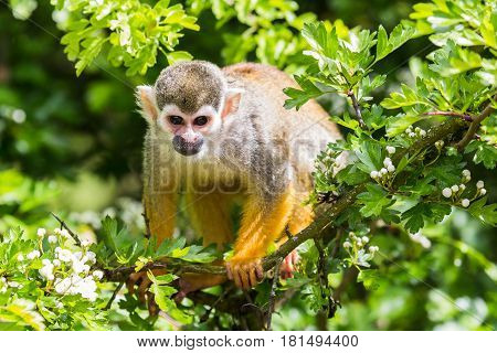 Close-up of a Squirrel monkey climbing high up on a tree