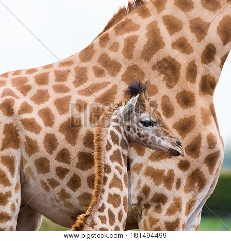 A baby giraffe captured against its mother - the baby being just taller than it's mothers hind legs.